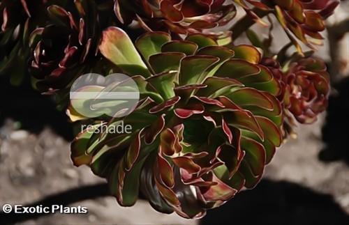 Aeonium arboreum atropurpureum Rosettendickblatt Samen