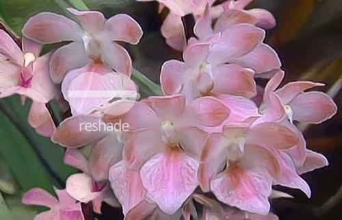 Aerides fieldingii Orchideen Samen