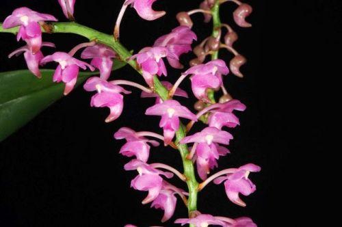 Aerides odorata South Pink Katzenschwanz Orchidee Samen