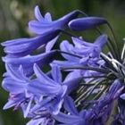 Agapanthus comptonii ssp comptonii Fleur de l Amour Agapanthe graines