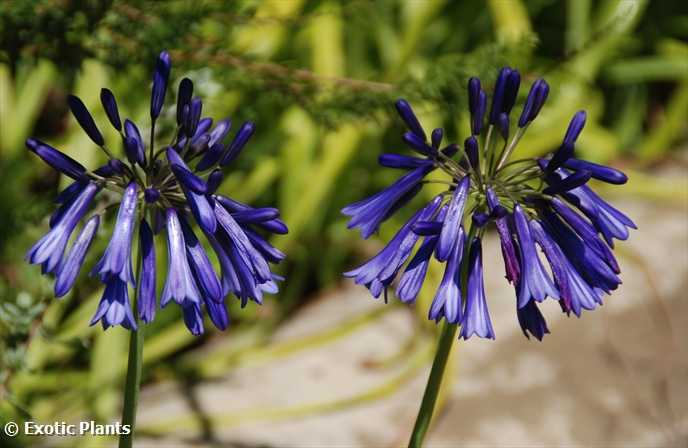 agapanthus inapertus hollandii lydenburg agapanthe graines. Black Bedroom Furniture Sets. Home Design Ideas