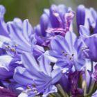 Agapanthus praecox ssp orientalis dwarf blue Agapanthe graines
