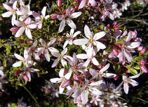 Agathosma betulina Bucco - Buchu graines