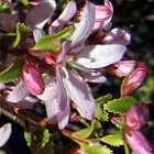 Agathosma betulina  cемян
