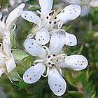 Agathosma gonaquensis Агастома гонаквенсис  cемян