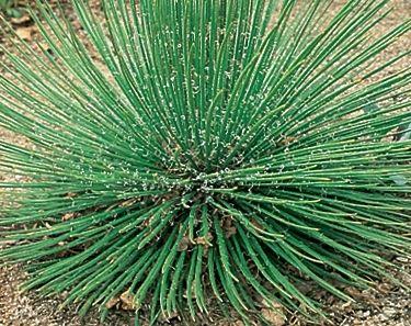 Agave geminiflora  semillas