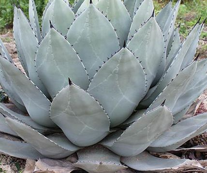 Agave parryi subsp. parryi  Parrys Agave - Mescal Agave Samen