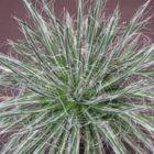 Agave schidigera White Stripe  semillas