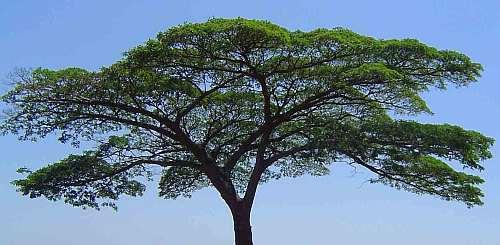 Albizia adianthifolia Schirmakazie – syn:  Albizia gummifera Samen