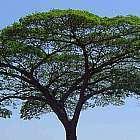 Albizia adianthifolia syn: Albizia gummifera graines