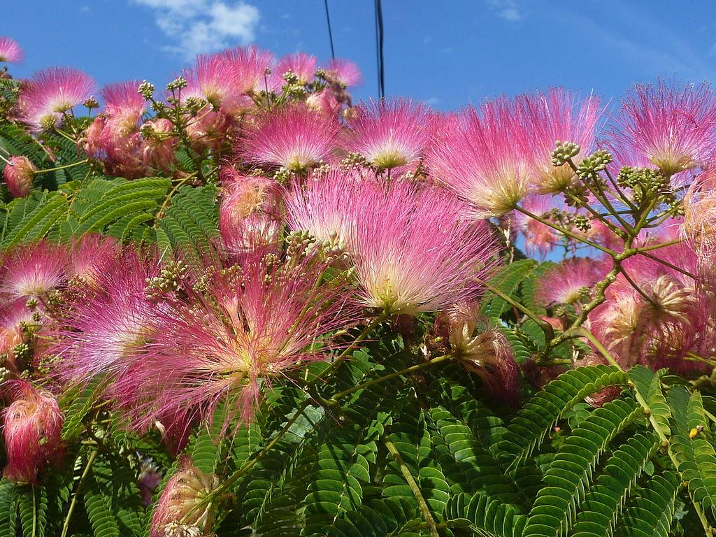Albizia julibrissin Seidenbaum - Seidenakazie - Schlafbaum Samen