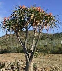 Aloe bainesii  semi