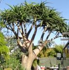 Aloe barberae  cемян