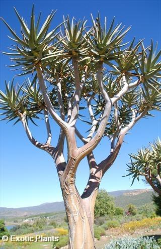 Aloe dichotoma árbol carcaj semillas