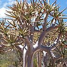 Aloe dichotoma Kokerboom graines