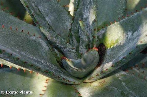 Aloe ferox Aloe Samen