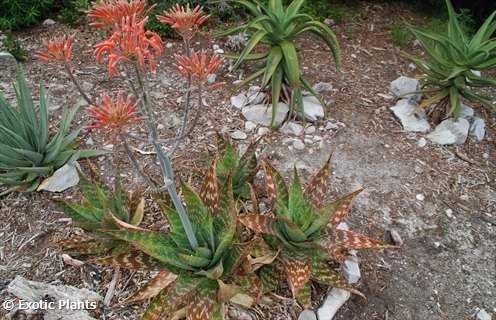 Aloe maculata Aloe Samen