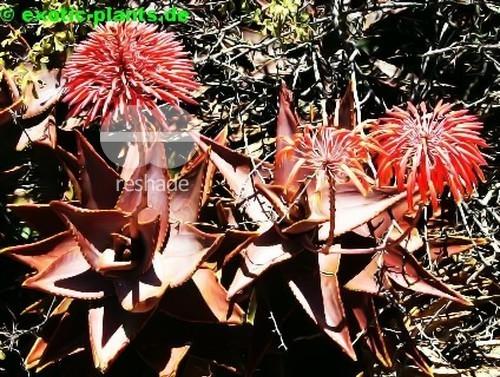 Aloe pearsonii Pearsons Aloe Samen