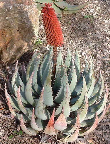 Aloe peglerae Aloe Samen
