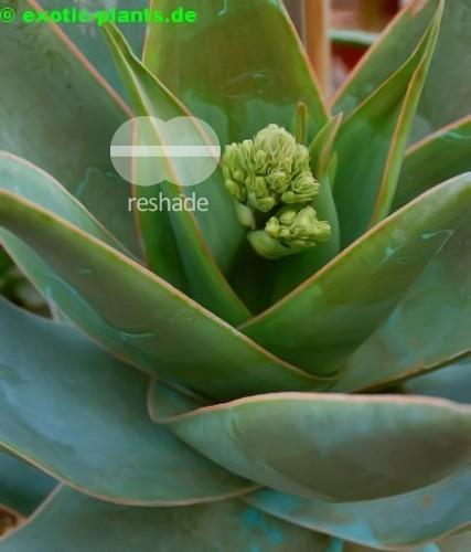 Aloe reynoldsii Aloe Samen