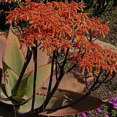 Aloe striata Korallen-Aloe Samen