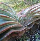 Aloe suprafoliata  cемян