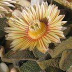 Aloinopsis rosulata  cемян