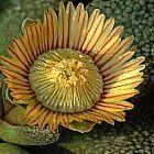 Aloinopsis setifera synonyme: Titanopsis setifera graines