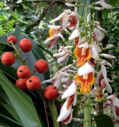 Alpinia mutica  semillas