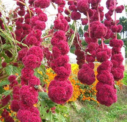 Amaranthus cruentus Garten-Fuchsschwanz  Samen
