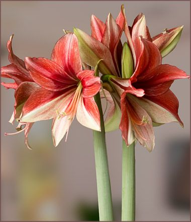 Amaryllis cream with red markings Rittersporn cremefarben mit roten Markierungen Samen