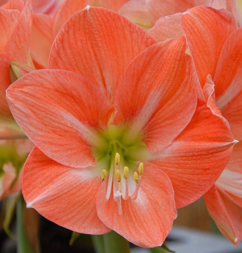 Amaryllis salmon red  semillas
