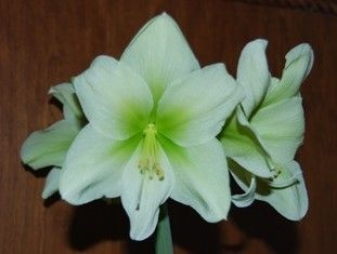 Amaryllis yellow-white with green centre  semillas