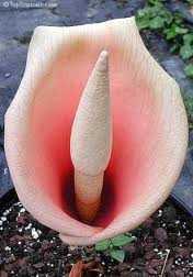 Amorphophallus bulbifer Knollenwurz - Titanwurz Samen