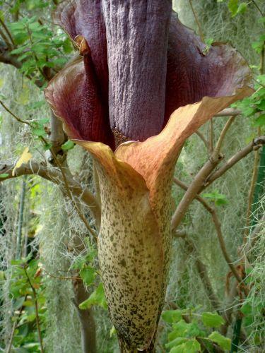 Amorphophallus konjac Teufelszunge Samen