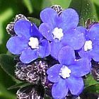 Anchusa capensis Cape-forget-me-not seeds