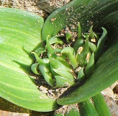 Androcymbium cupisdatum synonyme: Colchicum cuspidatum graines
