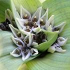 Androcymbium longipes  cемян