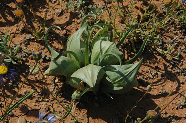 Androcymbium volutare sinónimo: Colchicum volutare semillas