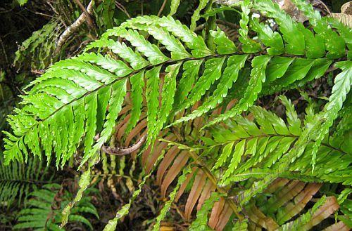 Angiopteris evecta helecho gigante - rey helecho semillas