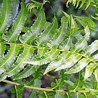 Anisogonium esculentum helecho vegetal semillas