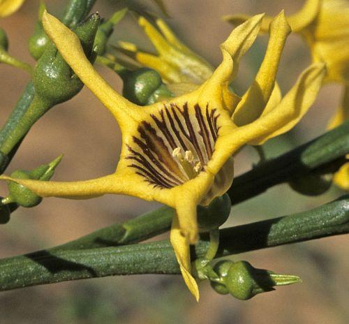 Anthocercis ilicifolia  semillas
