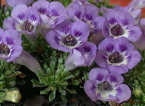 Aptosium procumbens Teppichblume - violette Karoo Samen