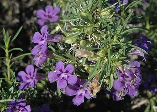 Aptosium spinescens Kankerblarebossie Samen