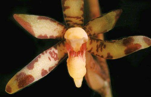 Arachnis labrosa Orchideen Samen