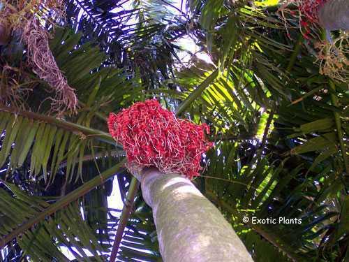 Areca catechu Betelnuß-Palme Samen