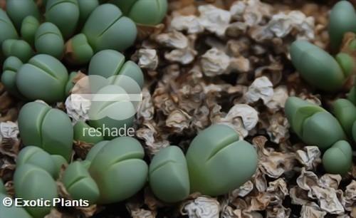 Argyroderma subalbum  Семена