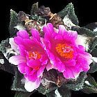 Ariocarpus bravoanus lebender Felsen Kaktus Samen