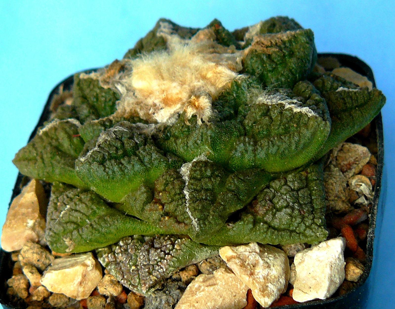 Ariocarpus fissuratus Lebender Felsen Kaktus Samen