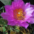 Ariocarpus scapharostrus cactus roche vivante graines